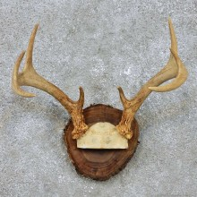 Whitetail Deer Antler Mount For Sale #14289 @ The Taxidermy Store