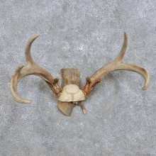 Whitetail Deer Antler Mount For Sale #14293 @ The Taxidermy Store