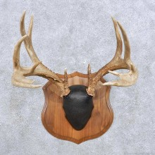 Whitetail Deer Antler Mount For Sale #14299 @ The Taxidermy Store