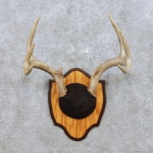 Whitetail Deer Antler Taxidermy Mount For Sale