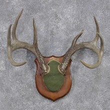 Whitetail Deer Taxidermy Antler Plaque Mount #12435 For Sale @ The Taxidermy Store