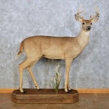 Whitetail Deer Life Size Mount For Sale #14061 @ The Taxidermy Store
