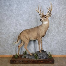 Whitetail Deer Life-Size Mount For Sale #15641 @ The Taxidermy Store