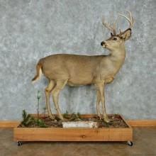 Whitetail Deer Life-Size Mount