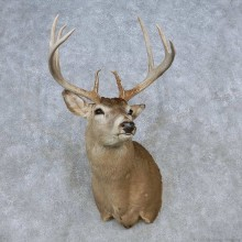 Whitetail Deer Shoulder Mount For Sale #14793 @ The Taxidermy Store