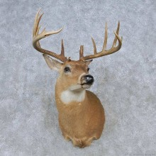 Whitetail Deer Shoulder Mount For Sale #14795 @ The Taxidermy Store