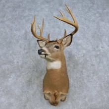 Whitetail Deer Shoulder Mount For Sale #14850 @ The Taxidermy Store