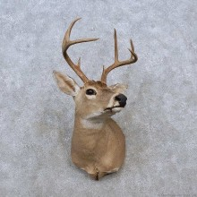 Whitetail Deer Shoulder Mount For Sale #15263 @ The Taxidermy Store