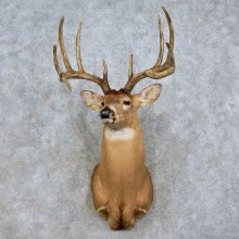 Whitetail Deer Shoulder Mount For Sale #17525 @ The Taxidermy Store
