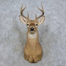 Whitetail Deer Shoulder Mount For Sale #15839 @ The Taxidermy Store