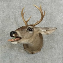 Whitetail Deer Shoulder Mount For Sale #16072 @ The Taxidermy Store