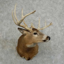 Whitetail Deer Shoulder Mount For Sale #16084 @ The Taxidermy Store