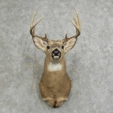 Whitetail Deer Shoulder Mount For Sale #16087 @ The Taxidermy Store