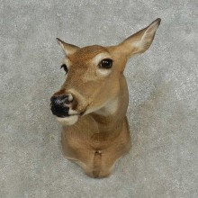 Whitetail Deer Doe Shoulder Taxidermy Mount For Sale