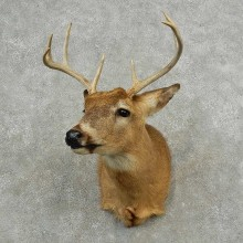 Whitetail Deer Shoulder Mount For Sale #16764 @ The Taxidermy Store