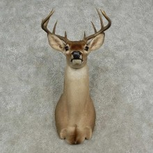 Whitetail Deer Shoulder Mount For Sale #16959 @ The Taxidermy Store