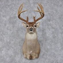 Whitetail Deer Shoulder Taxidermy Head Mount #12493 For Sale @ The Taxidermy Store