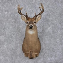 Whitetail Deer Shoulder Taxidermy Head Mount #12496 For Sale @ The Taxidermy Store