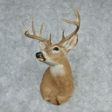 """Whitetail Deer Shoulder - 146 4/8"""""""