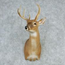 Whitetail Deer Shoulder with 3rd Antler