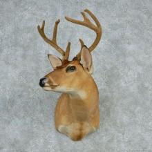 """Whitetail Deer Shoulder - 92 0/8"""""""