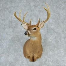 """Whitetail Deer Shoulder - 134 7/8"""""""