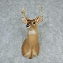 """Whitetail Deer Shoulder - 92 1/8"""""""