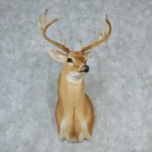 """Whitetail Deer Shoulder - 118 7/8"""""""