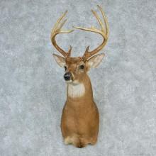 """Whitetail Deer Shoulder - 121 0/8"""""""