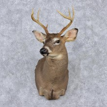 Whitetail Deer Shoulder Taxidermy Head Mount #12522 For Sale @ The Taxidermy Store