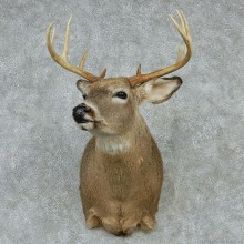 Whitetail Deer Taxidermy Shoulder Mount #13155 For Sale @ The Taxidermy Store