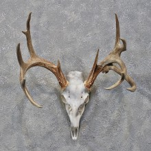 Whitetail Deer Skull & Antlers #12179 For Sale @ The Taxidermy Store