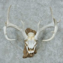 Whitetail Deer Skull & Antler European Mount #13763 For Sale @ The Taxidermy Store