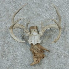 Whitetail Deer Skull Cap & Antler European Mount #13766 For Sale @ The Taxidermy Store