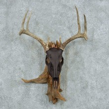 Whitetail Deer Skull & Antler European Mount #13767 For Sale @ The Taxidermy Store