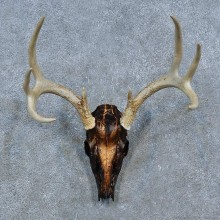 Whitetail Deer Skull Antler European Mount For Sale #15333 @ The Taxidermy Store
