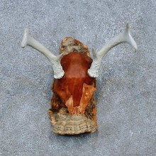 Whitetail Deer Skull Antler European Mount For Sale #15358 @ The Taxidermy Store
