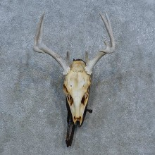 Whitetail Deer Skull Antler European Mount For Sale #15360 @ The Taxidermy Store