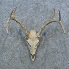 Whitetail Deer Skull Antler European Mount For Sale #15372 @ The Taxidermy Store