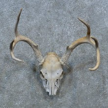 Whitetail Deer Skull Antler European Mount For Sale #15376 @ The Taxidermy Store