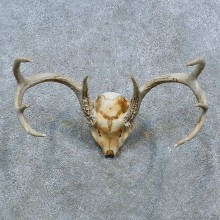 Whitetail Deer Skull Antler European Mount For Sale #15379 @ The Taxidermy Store