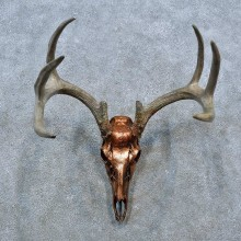 Whitetail Deer Skull Antler European Mount For Sale #15395 @ The Taxidermy Store