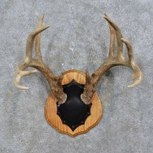 Whitetail Deer Antler Plaque Mount For Sale #15768 @ The Taxidermy Store