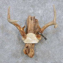 Whitetail Deer Antler Mount For Sale #14288 @ The Taxidermy Store
