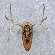Mule Deer Skull European Taxidermy Mount For Sale