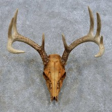 Whitetail Deer Skull European Mount For Sale #14676 @ The Taxidermy Store