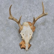 Whitetail Deer Antler Mount For Sale #14763 @ The Taxidermy Store
