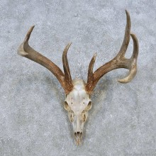 Whitetail Deer Skull European Mount For Sale #14769 @ The Taxidermy Store