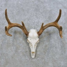 Whitetail Deer Skull European Mount For Sale #14902 @ The Taxidermy Store