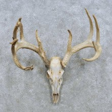 Whitetail Deer Antler Mount For Sale #15142 @ The Taxidermy Store